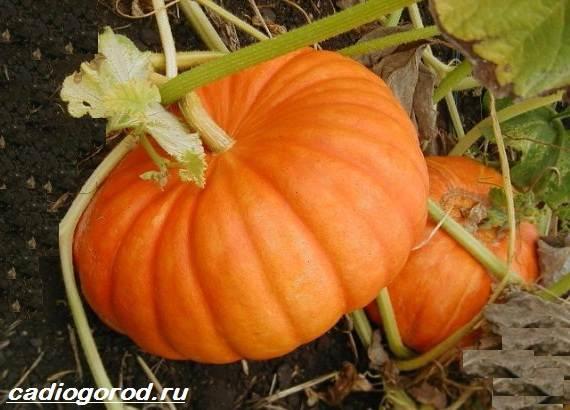 Выращивание-тыквы-Как-и-когда-сажать-тыкву-Уход-за-тыквой-3