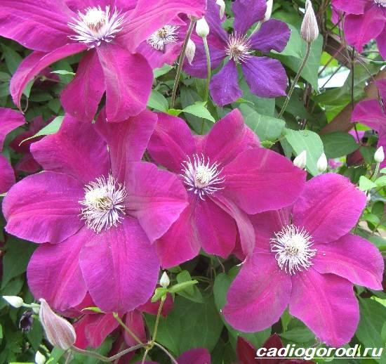 Что за цветок клематис