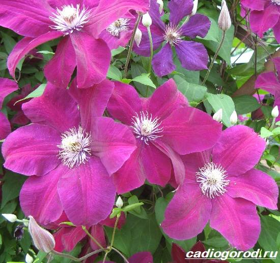 Клематис-цветок-Выращивание-клематиса-Уход-за-клематисом-6