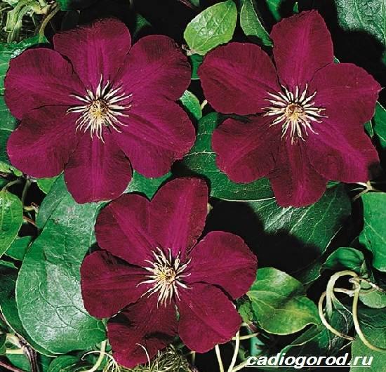 Клематис-цветок-Выращивание-клематиса-Уход-за-клематисом-7