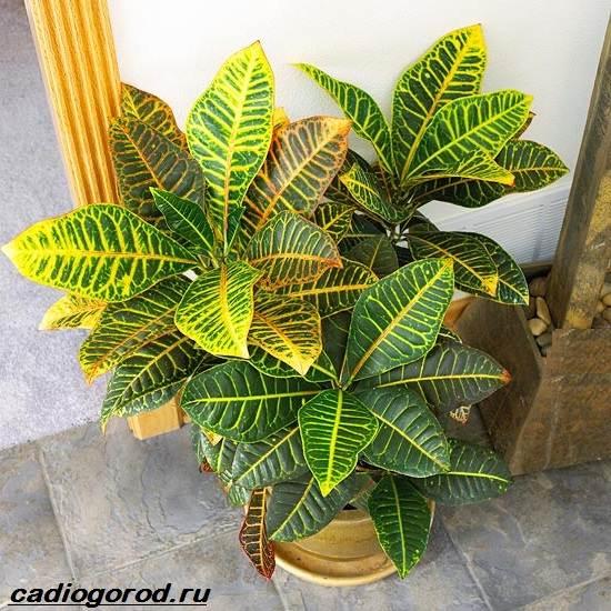 Кротон-цветок-Выращивание-кротона-Уход-за-кротоном-4