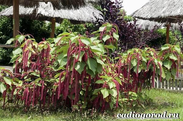 Акалифа-цветок-Выращивание-акалифы-Уход-за-акалифой-10