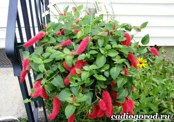 Акалифа-цветок-Выращивание-акалифы-Уход-за-акалифой-2