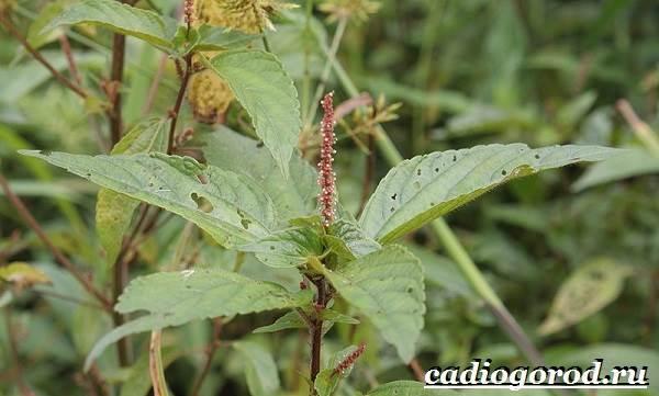 Акалифа-цветок-Выращивание-акалифы-Уход-за-акалифой-4