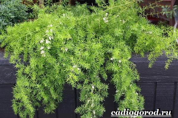 Аспарагус-цветок-Выращивание-аспарагуса-Уход-за-аспарагусом-1
