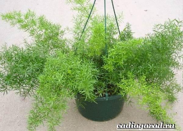 Аспарагус-цветок-Выращивание-аспарагуса-Уход-за-аспарагусом-3