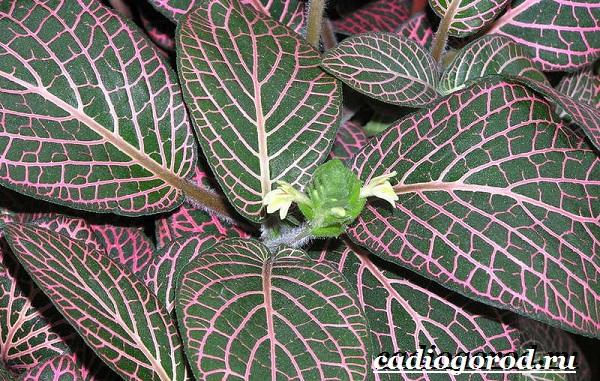 Фиттония-цветок-Выращивание-фиттонии-Уход-за-фиттонией-12