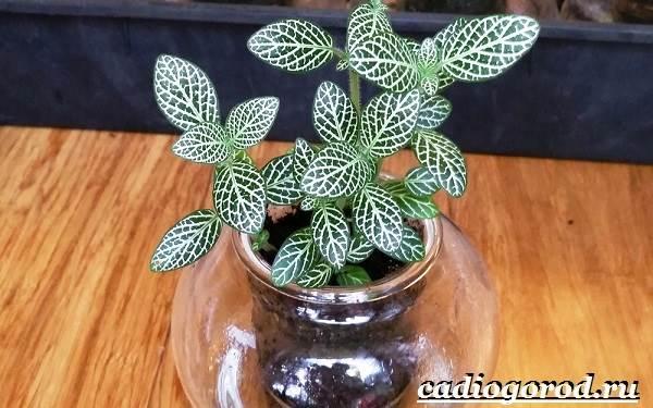 Фиттония-цветок-Выращивание-фиттонии-Уход-за-фиттонией-2