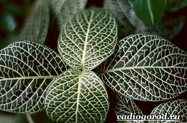 Фиттония-цветок-Выращивание-фиттонии-Уход-за-фиттонией-4