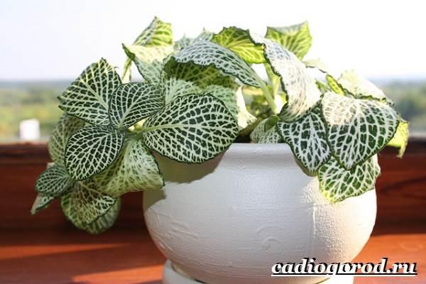 Фиттония-цветок-Выращивание-фиттонии-Уход-за-фиттонией-6