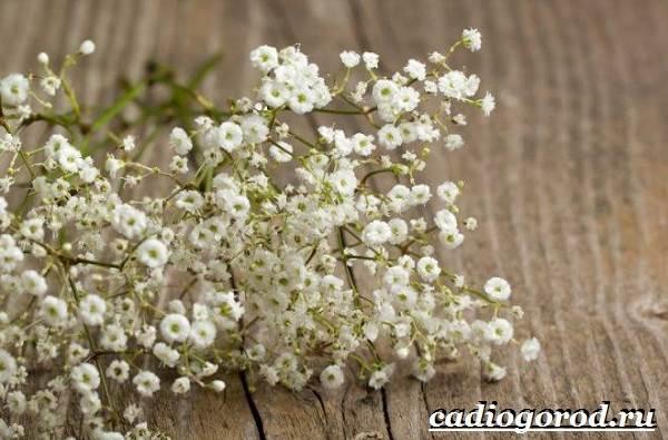 Гипсофила-цветок-Выращивание-гипсофилы-Уход-за-гипсофилой-2