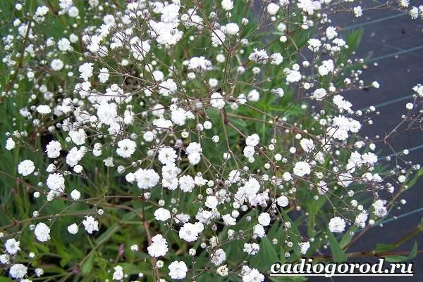 Гипсофила-цветок-Выращивание-гипсофилы-Уход-за-гипсофилой-6