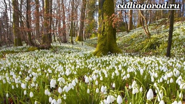 Подснежник-цветок-Описание-особенности-виды-и-защита-подснежников-10