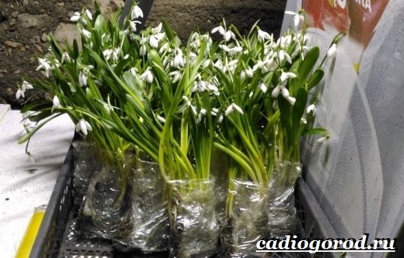Подснежник-цветок-Описание-особенности-виды-и-защита-подснежников-7