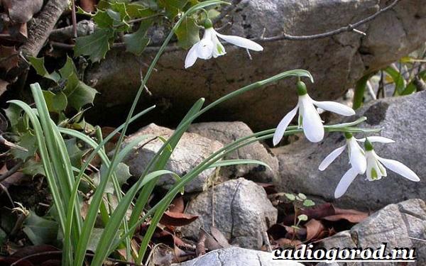 Подснежник-цветок-Описание-особенности-виды-и-защита-подснежников-9
