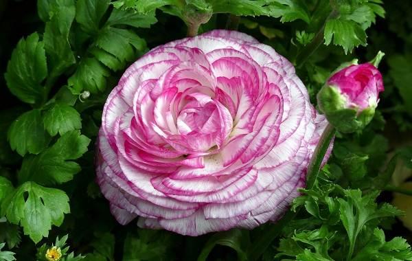 Ранункулюс-цветок-Выращивание-ранункулюса-Уход-за-ранункулюсом-12