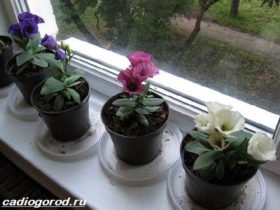 Эустома-цветок-Выращивание-эустомы-Уход-за-эустомой-5