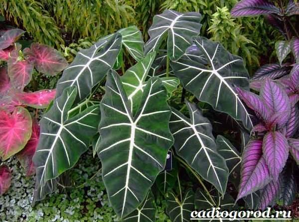 Алоказия-цветок-Выращивание-алоказии-Уход-за-алоказией-7