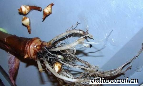 Алоказия-цветок-Выращивание-алоказии-Уход-за-алоказией-8