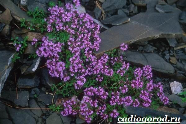 Чабрец-трава-Выращивание-чабреца-Уход-за-чабрецом-6