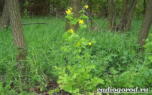 Чистотел-растение-Описание-особенности-и-виды-чистотела-4