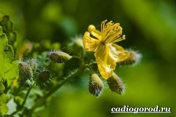 Чистотел-растение-Описание-особенности-и-виды-чистотела-7