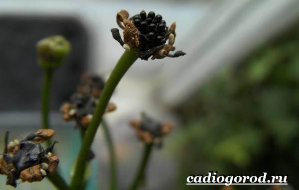 Дионея-цветок-Выращивание-дионеи-Уход-за-дионеей-5