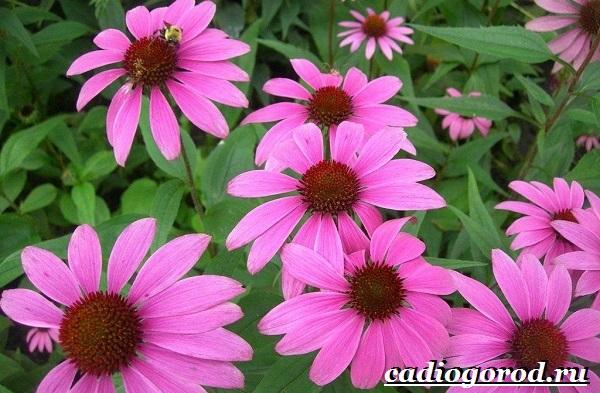Эхинацея-трава-Выращивание-эхинацеи-Виды-и-польза-эхинацеи-21