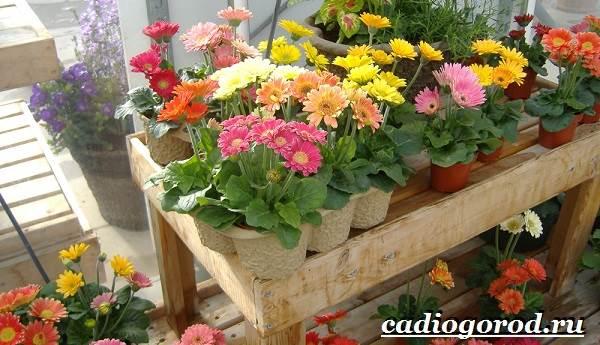 Герберы-цветы-Выращивание-гербер-Уход-за-герберами-6