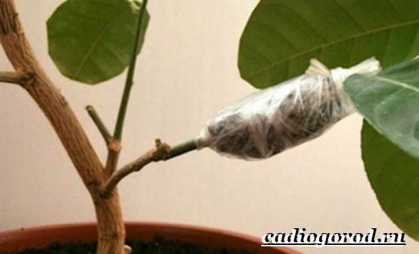 Гибискус-цветок-Выращивание-гибискуса-Уход-за-гибискусом-6