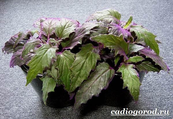 Гинура-цветок-Выращивание-гинуры-Уход-за-гинурой-5