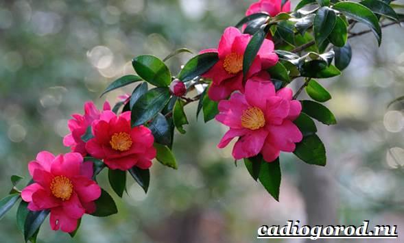 Камелия-цветок-Выращивание-камелии-Уход-за-камелией-1