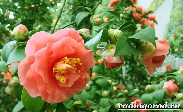 Камелия-цветок-Выращивание-камелии-Уход-за-камелией-5