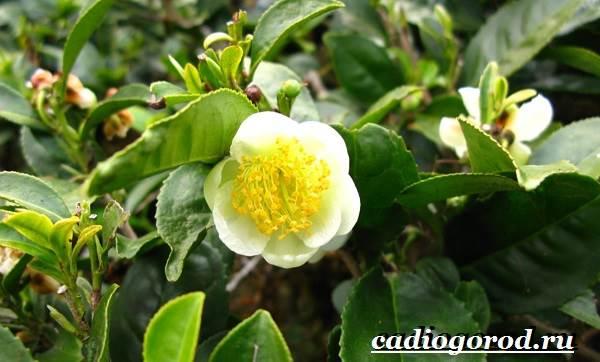 Камелия-цветок-Выращивание-камелии-Уход-за-камелией-9