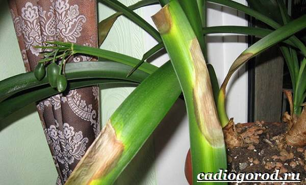Кливия-цветок-Выращивание-кливии-Уход-за-кливией-11