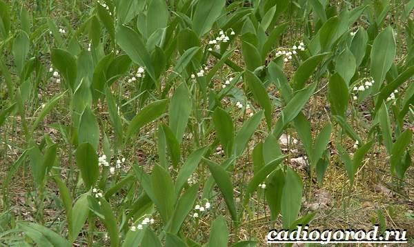 Ландыш-цветок-Описание-особенности-уход-и-выращивание-ландышей-10