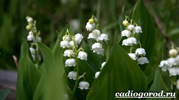 Ландыш-цветок-Описание-особенности-уход-и-выращивание-ландышей-2