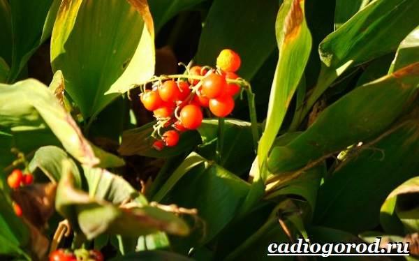 Ландыш-цветок-Описание-особенности-уход-и-выращивание-ландышей-7