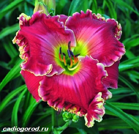 Лилейник-цветок-Выращивание-лилейника-Уход-за-лилейником-3