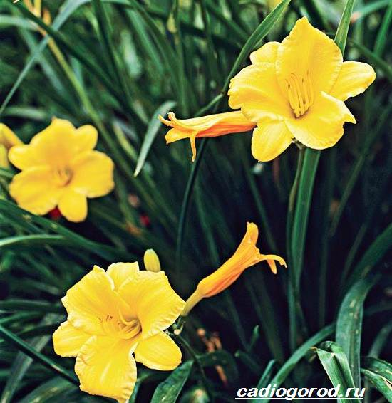 Лилейник-цветок-Выращивание-лилейника-Уход-за-лилейником-7