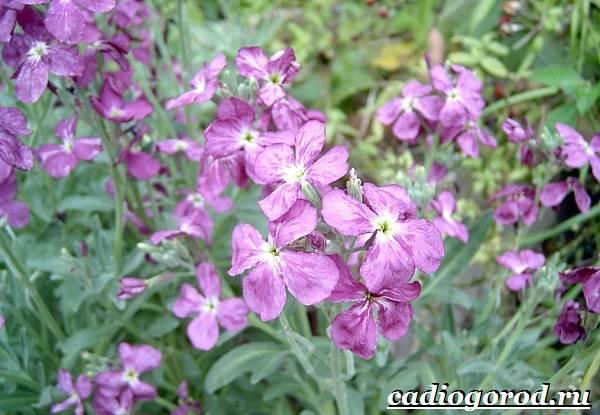 Ночная фиалка цветок. выращивание ночной фиалки. уход за ноч.