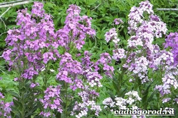 Ночная-фиалка-цветок-Выращивание-ночной-фиалки-Уход-за-ночной-фиалкой-5