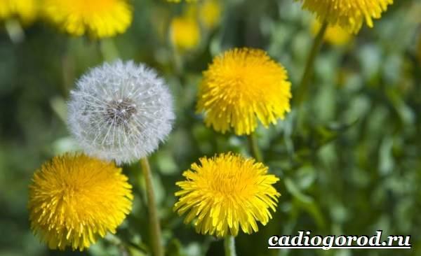 Одуванчик-растение-Описание-особенности-лечебные-свойства-и-применение-одуванчика-2