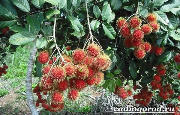 Рамбутан-фрукт-Выращивание-рамбутана-Свойства-рамбутана-2