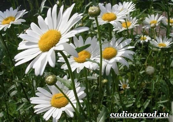 Ромашка-садовая-цветок-Выращивание-ромашки-садовой-Уход-за-ромашкой-садовой-3
