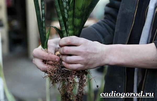 Тёщин-язык-цветок-Выращивание-тещиного-языка-Уход-за-тещиным-языком-5