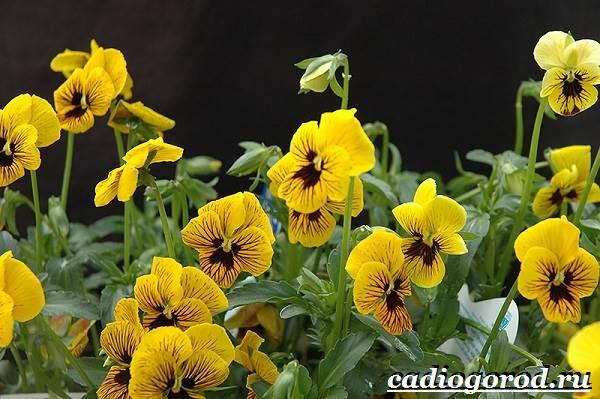 Виола-цветок-Выращивание-виолы-Уход-за-виолой-7