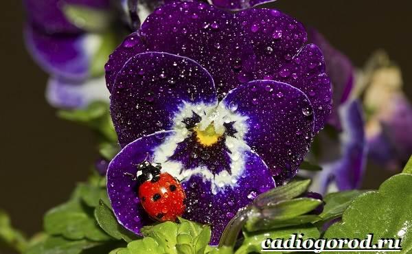 Виола-цветок-Выращивание-виолы-Уход-за-виолой