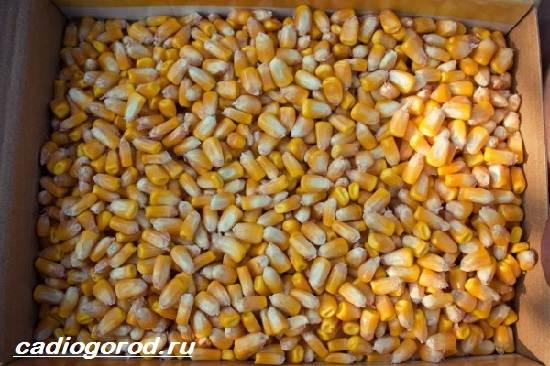 Выращивание-кукурузы-Как-и-когда-сажать-кукурузу-Уход-за-кукурузой-3