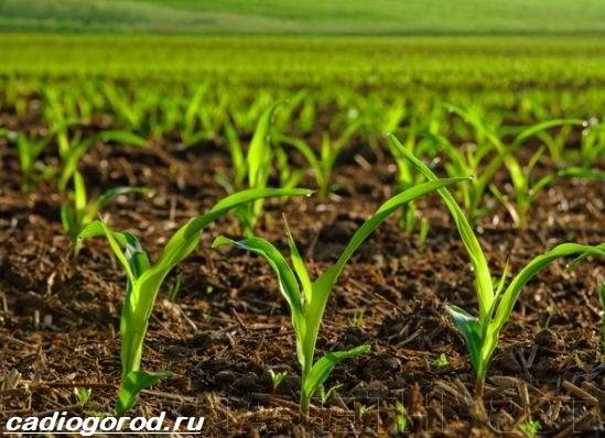 Выращивание-кукурузы-Как-и-когда-сажать-кукурузу-Уход-за-кукурузой-7